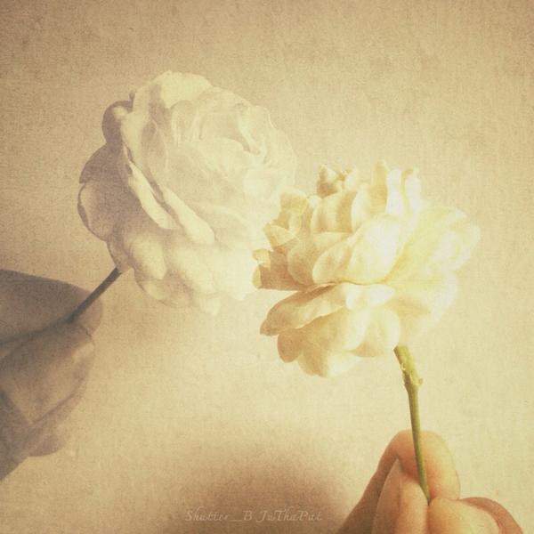 ดอกมะลิ: ดอกมะลิ ดอกไม้สัญลักษณ์ประจำวันแม่
