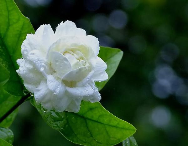 ดอกมะลิ ดอกไม้สัญลักษณ์ประจำวันแม่