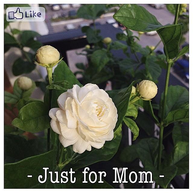 ดอกมะลิ สัญลักษณ์ประจำวันแม่