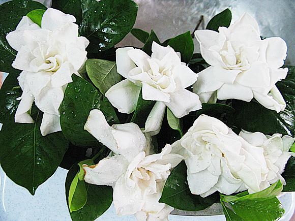 ดอกพุดซ้อน ดอกไม้ประจำวันมาฆบูชา