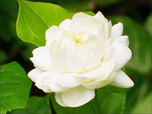 วันแม่แห่งชาติ ใช้ดอกมะลิเป็นสัญลักษณ์