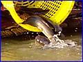 ตอน อานิสงส์บุญที่ให้ทานแก่ปลา